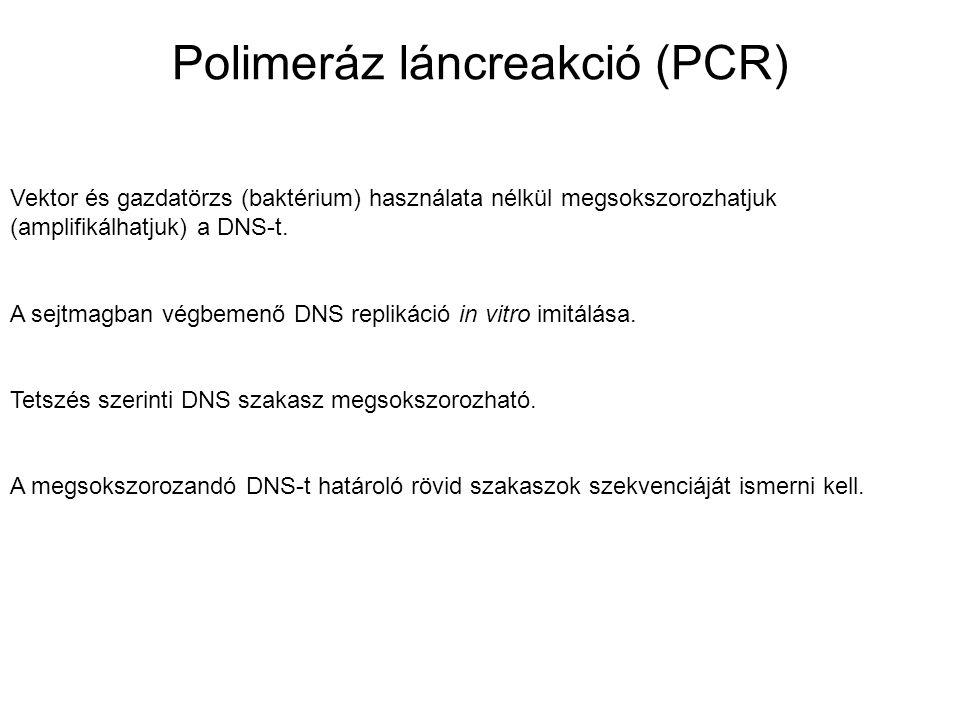 Polimeráz láncreakció (PCR) Vektor és gazdatörzs (baktérium) használata nélkül megsokszorozhatjuk (amplifikálhatjuk) a DNS-t. A sejtmagban végbemenő D