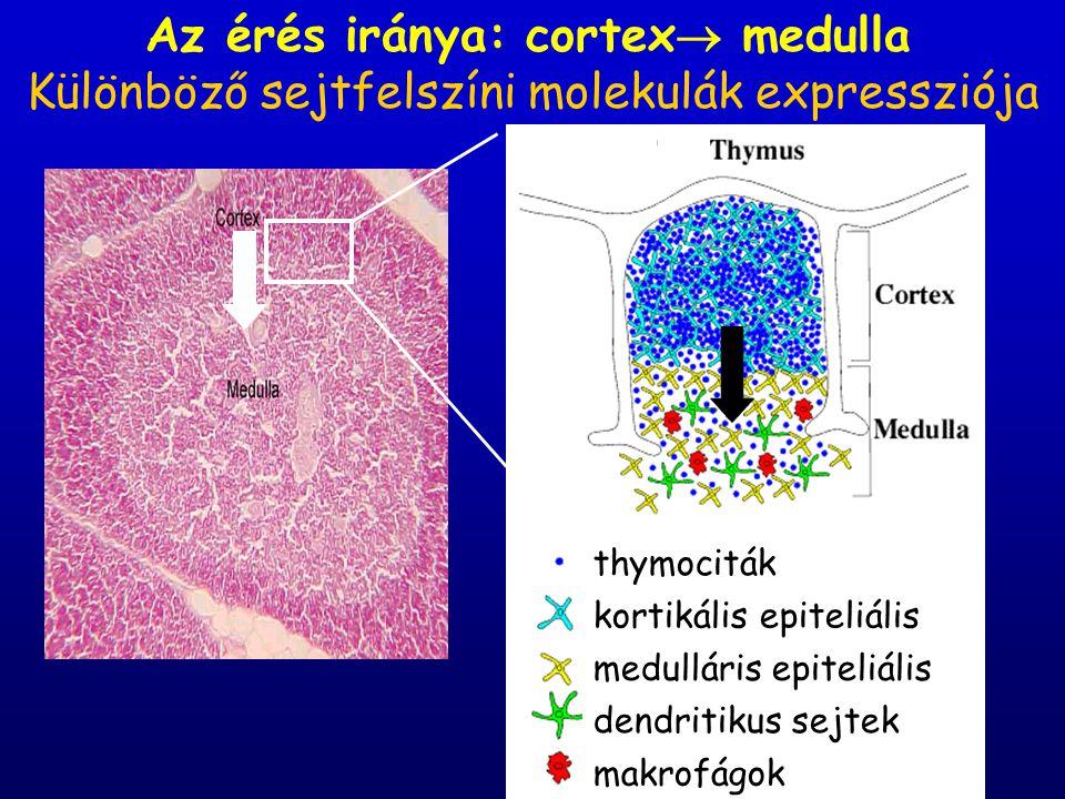 Az érés iránya: cortex  medulla thymociták kortikális epiteliális sejtek medulláris epiteliális sejtek dendritikus sejtek makrofágok Különböző sejtfe