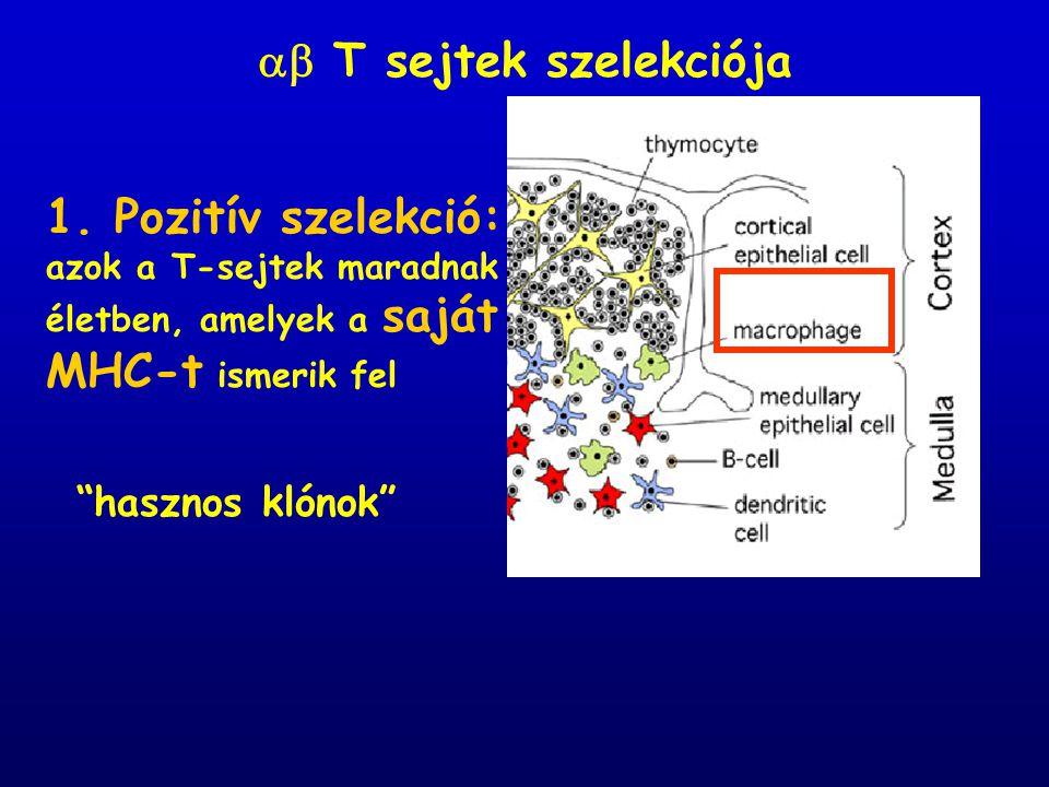 """1. Pozitív szelekció: azok a T-sejtek maradnak életben, amelyek a saját MHC-t ismerik fel  T sejtek szelekciója """"hasznos klónok"""""""