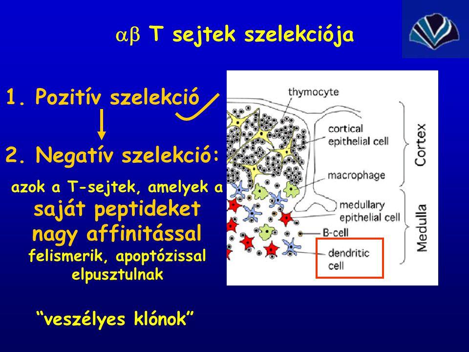 1. Pozitív szelekció  T sejtek szelekciója 2. Negatív szelekció: azok a T-sejtek, amelyek a saját peptideket nagy affinitással felismerik, apoptózis