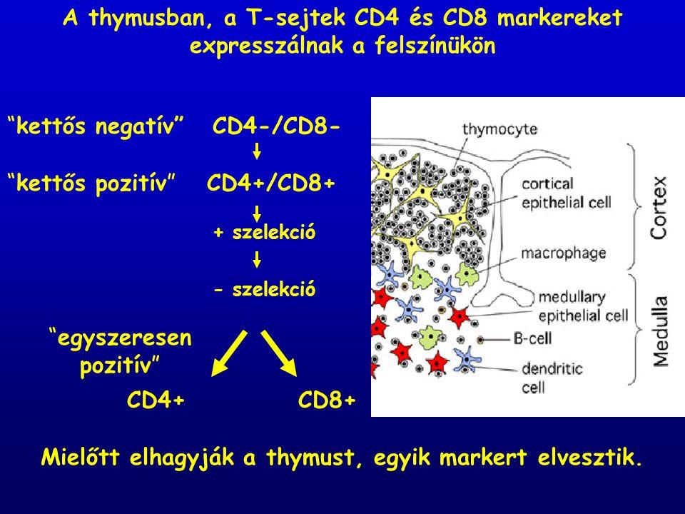 """+ szelekció - szelekció CD4-/CD8- CD4+/CD8+ CD4+CD8+ """"kettős negatív"""" """"kettős pozitív"""" """"egyszeresen pozitív"""" Mielőtt elhagyják a thymust, egyik marker"""