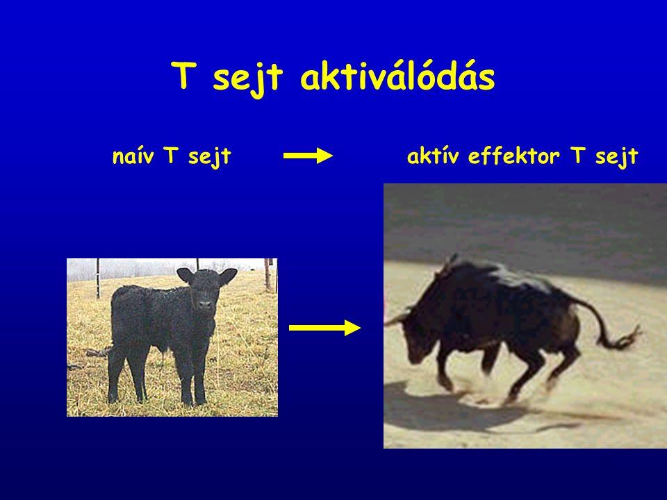T sejt aktiválódás naív T sejtaktív effektor T sejt