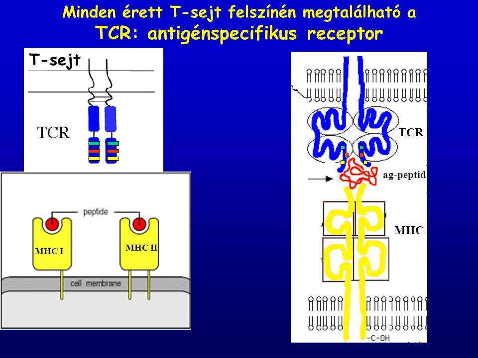 Minden érett T-sejt felszínén megtalálható a TCR: antigénspecifikus receptor T-sejt MHC TCR ag-peptid MHC II MHC I MHC II