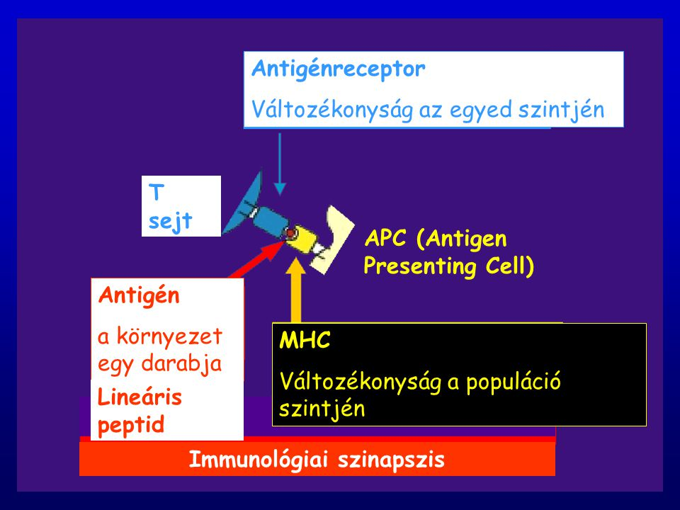 MHC Variety at population level antigenrecepto r, diversity at individual level antige n part of the environment IMMUNOLOGICAL SYNAPSE APC (Antigen Pr