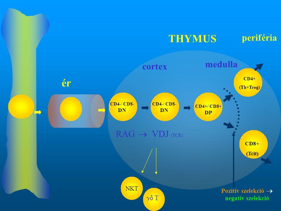 CD4-/ CD8- DN CD4+ (Th+Treg) CD8+ (Tcit) RAG  VDJ (TCR) ér THYMUS cortex medulla periféria CD4-/ CD8- DN CD4+/ CD8+ DP Pozitív szelekció  negatív sz