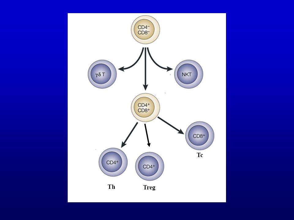 Thymus CD4 Foxp3- Periféria Foxp3- effektor Foxp3+ nat T reg a CD4 + T sejtek  10 %- a T helper
