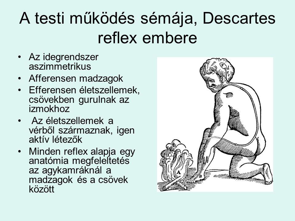 A testi működés sémája, Descartes reflex embere Az idegrendszer aszimmetrikus Afferensen madzagok Efferensen életszellemek, csövekben gurulnak az izmokhoz Az életszellemek a vérből származnak, igen aktív létezők Minden reflex alapja egy anatómia megfeleltetés az agykamráknál a madzagok és a csövek között