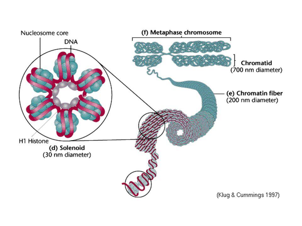 47,XXY karyotípus