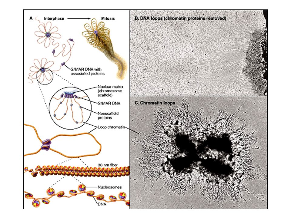 A KROMOSZÓMÁK ALAKJA FÜGG A fajtól Az osztódás típusától (mitózis vagy meiózis) Az osztódás fázisától (pl.