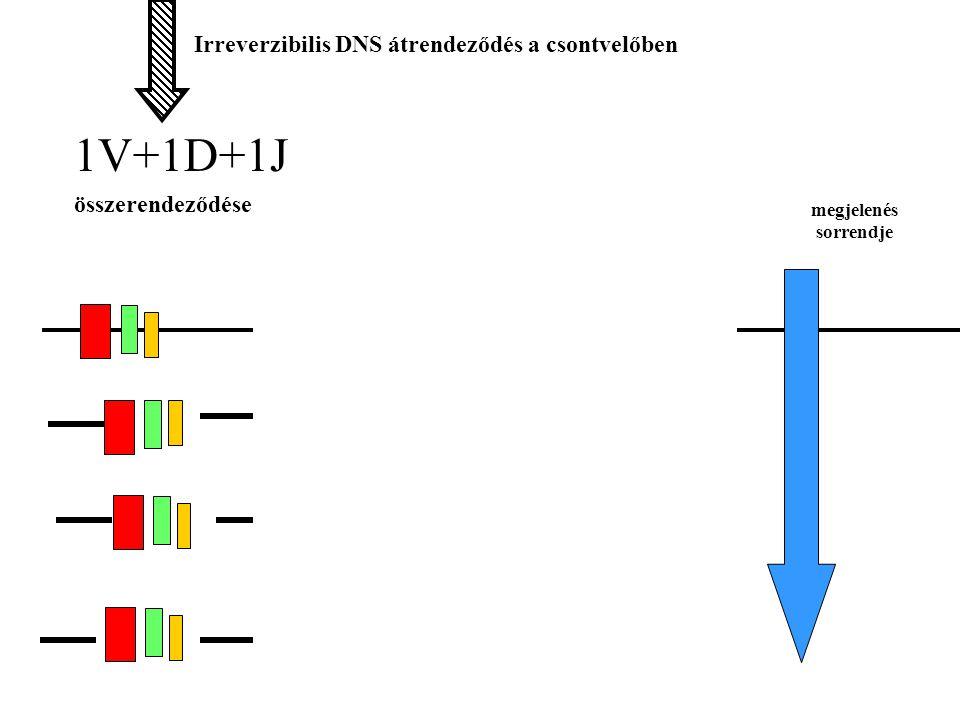 C gének 1V+1D+1J összerendeződése Irreverzibilis DNS átrendeződés a csontvelőben     IgG IgA IgE IgM Irreverzibilis átrendeződés a periférián megjelenés sorrendje