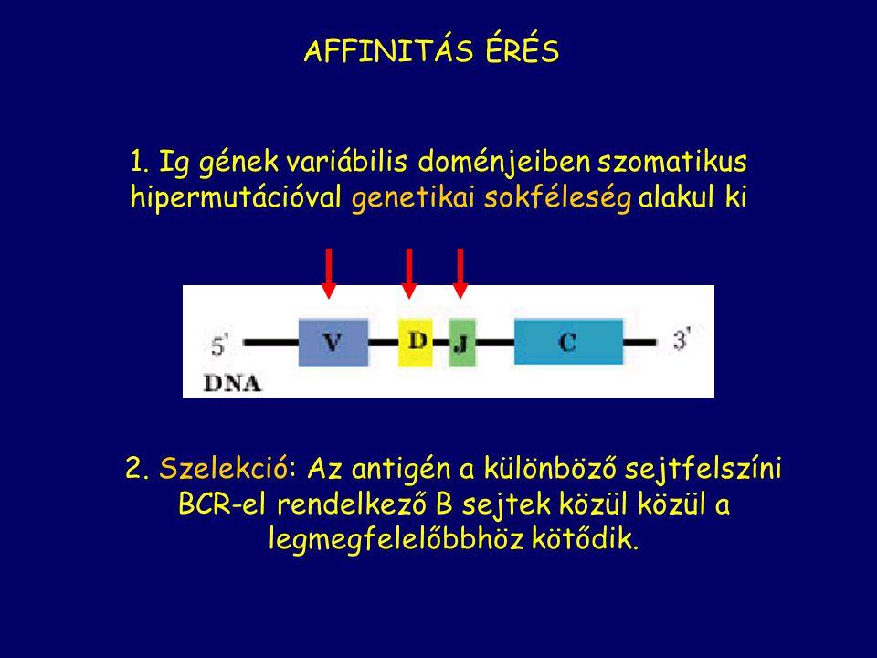 1. Ig gének variábilis doménjeiben szomatikus hipermutációval genetikai sokféleség alakul ki 2.