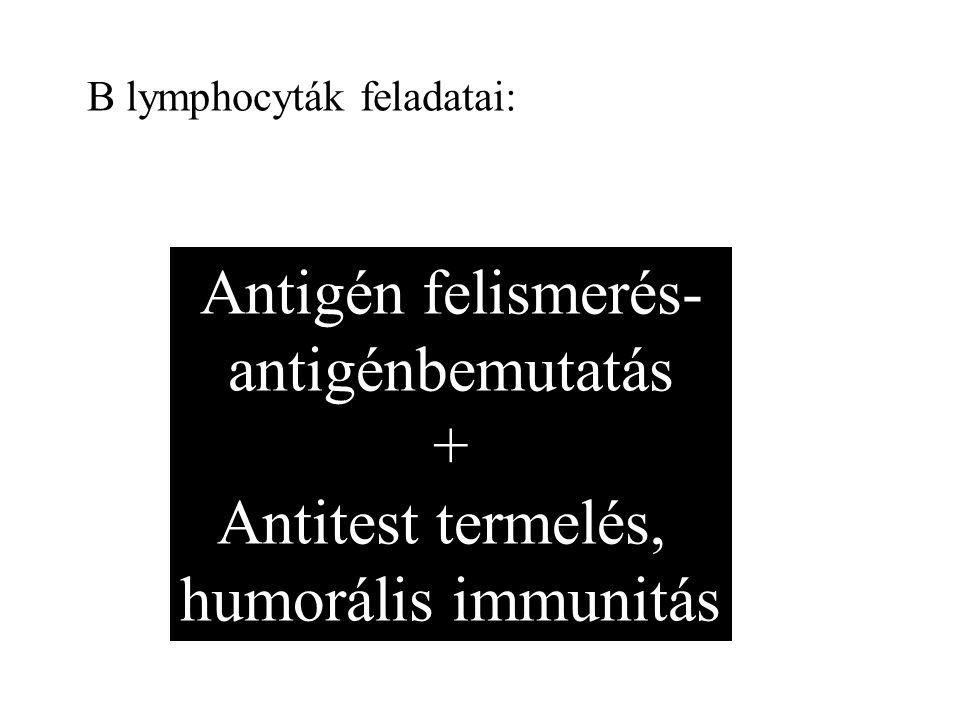 Antigén felismerés- antigénbemutatás + Antitest termelés, humorális immunitás B lymphocyták feladatai: