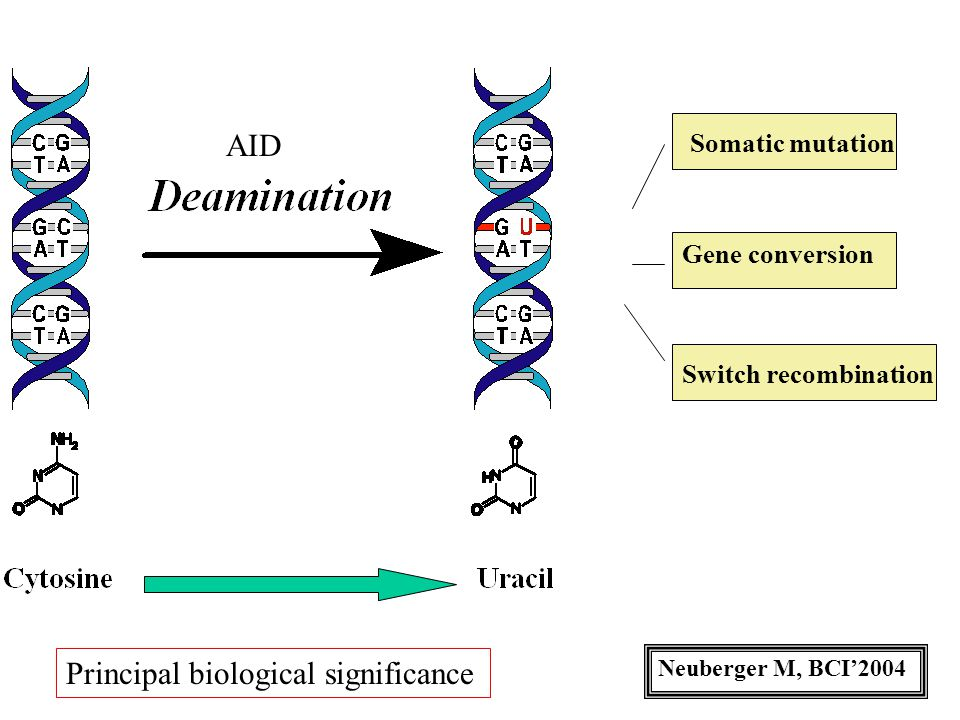 Somatic mutation Gene conversion Switch recombination AID Neuberger M, BCI'2004 Principal biological significance