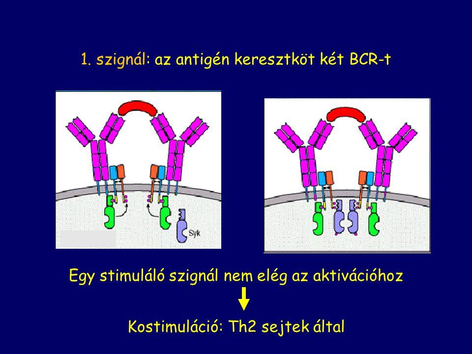 1. szignál: az antigén keresztköt két BCR-t Egy stimuláló szignál nem elég az aktivációhoz Kostimuláció: Th2 sejtek által
