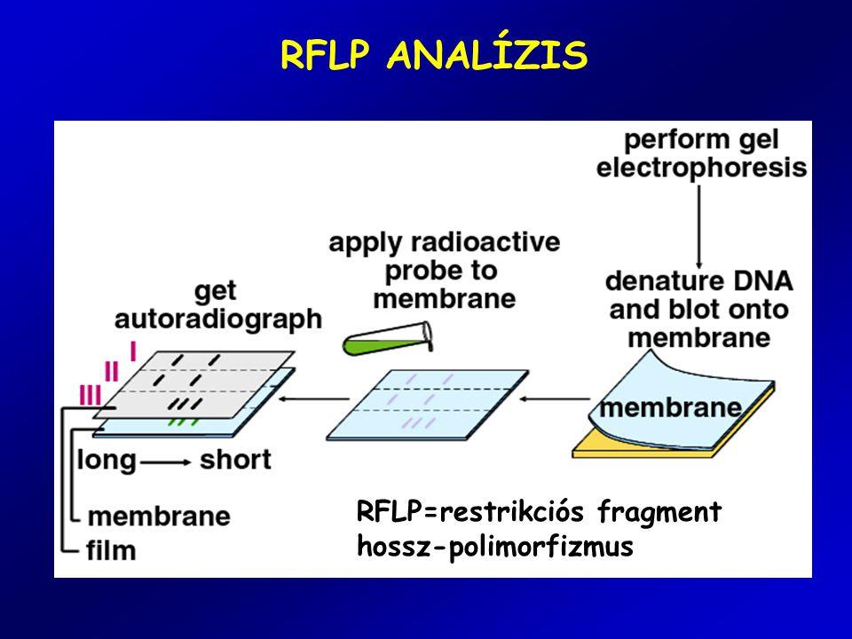 RFLP ANALÍZIS RFLP=restrikciós fragment hossz-polimorfizmus