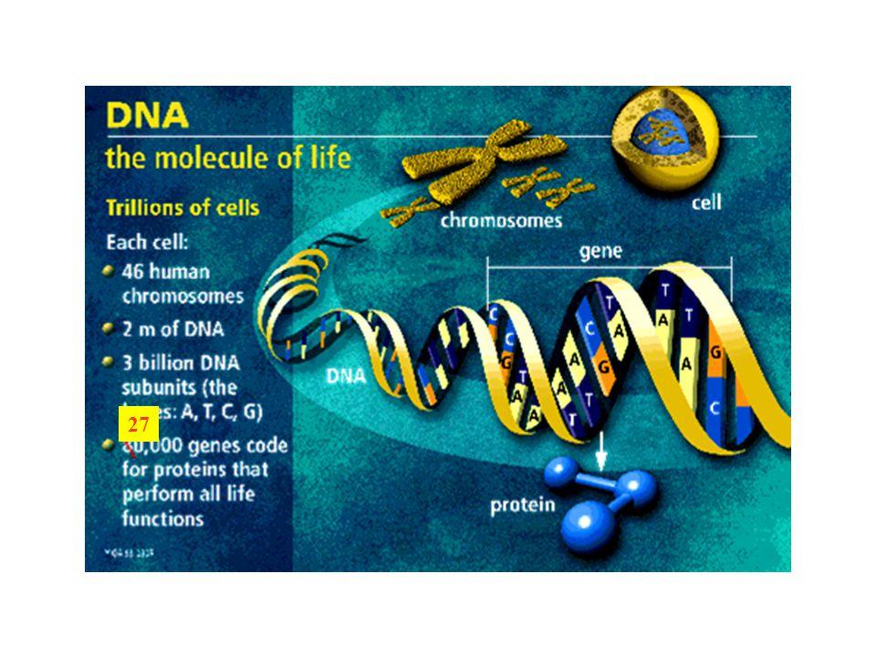 Genom méretek /bp/