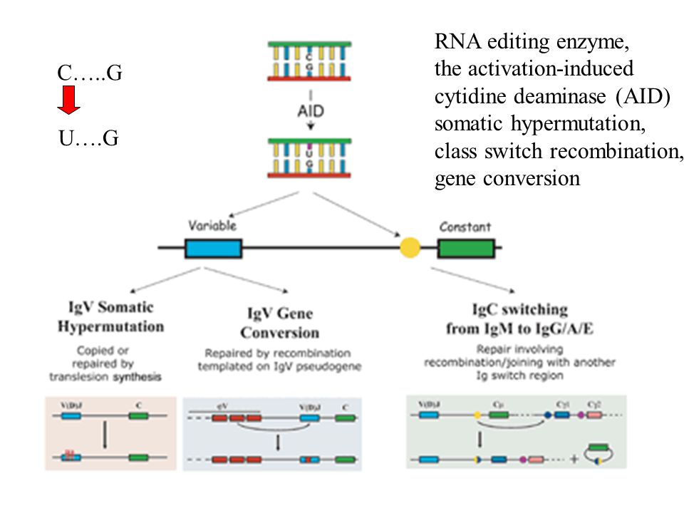 RNA editing enzyme, the activation-induced cytidine deaminase (AID) somatic hypermutation, class switch recombination, gene conversion C…..G U….G