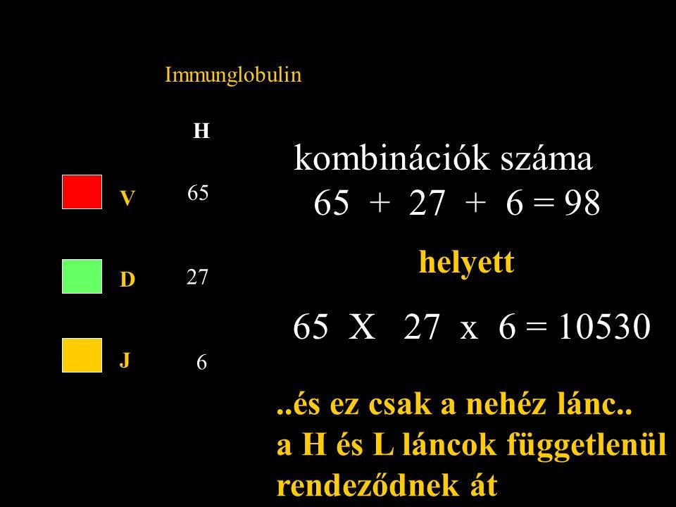 H Immunglobulin VDJVDJ 65 27 6 kombinációk száma 65 + 27 + 6 = 98 helyett 65 X 27 x 6 = 10530...és ez csak a nehéz lánc..