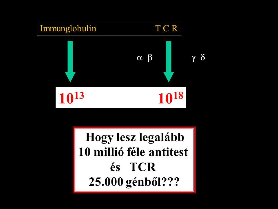  Immunglobulin T C R 10 13 10 18 Hogy lesz legalább 10 millió féle antitest és TCR 25.000 génből???