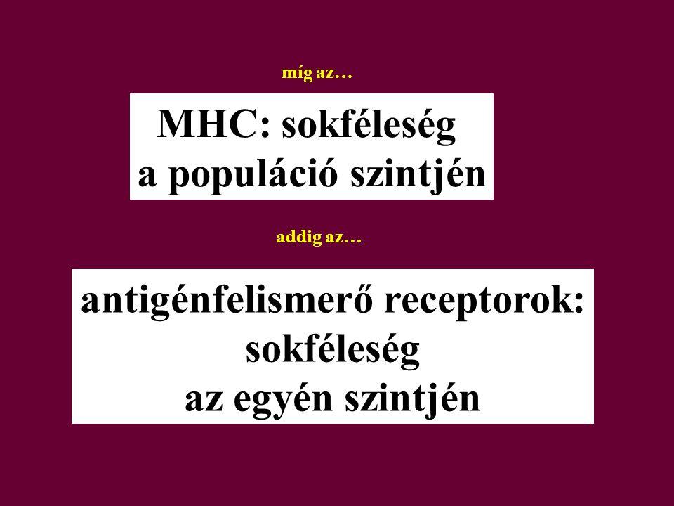 MHC: sokféleség a populáció szintjén antigénfelismerő receptorok: sokféleség az egyén szintjén míg az… addig az…