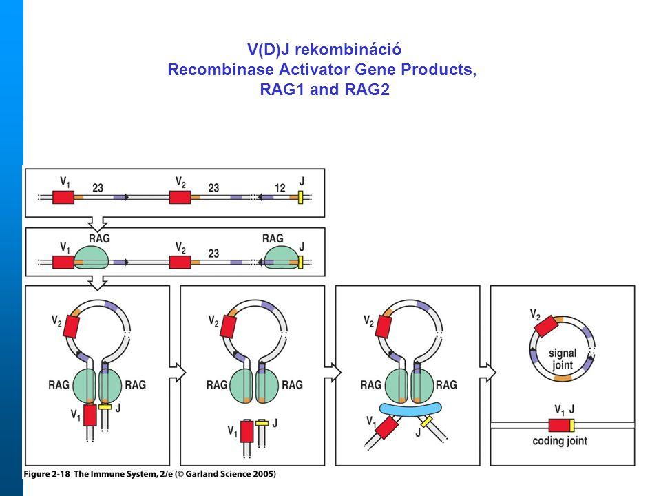Figure 2-18 V(D)J rekombináció Recombinase Activator Gene Products, RAG1 and RAG2