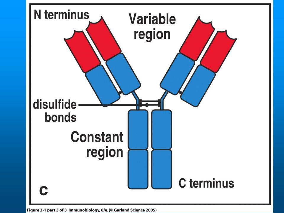Szomatikus hipermutáció Génkonverzió Osztályváltás AID Neuberger M, BCI'2004 Szomatikus hipermutáció hibagenerálás javítás, mutációk
