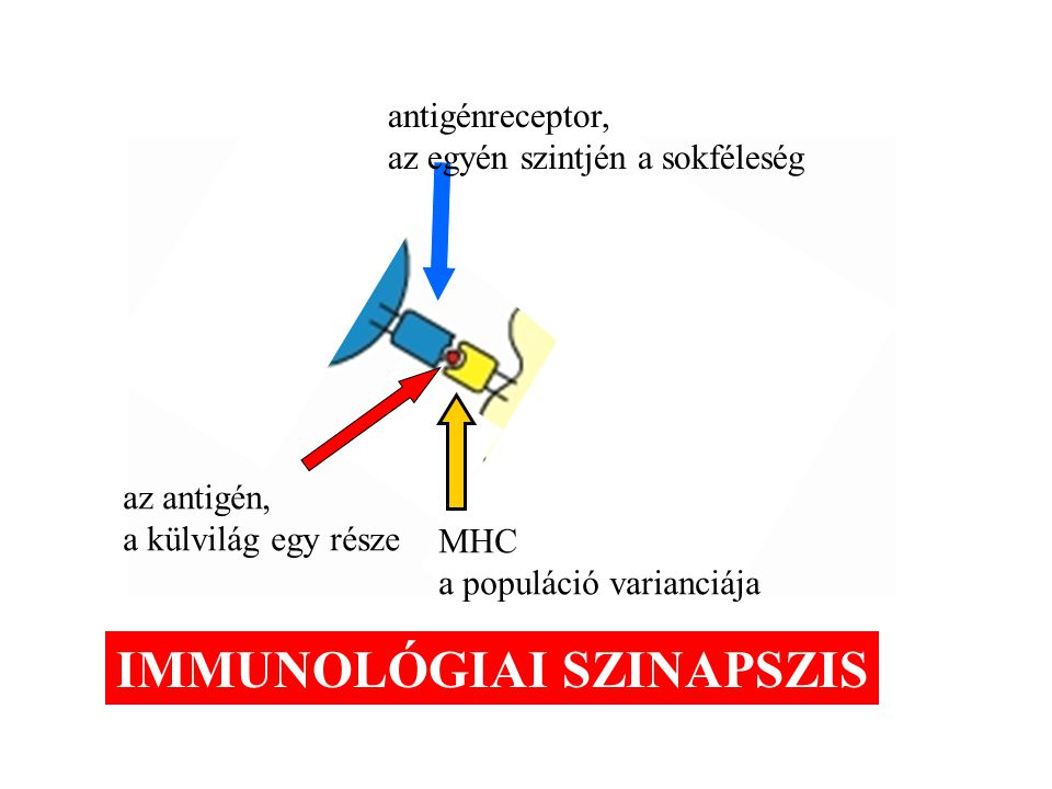 MHC a populáció varianciája antigénreceptor, az egyén szintjén a sokféleség az antigén, a külvilág egy része IMMUNOLÓGIAI SZINAPSZIS