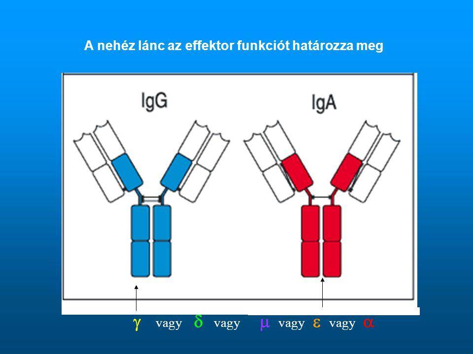 A nehéz lánc az effektor funkciót határozza meg  vagy  vagy  vagy  vagy 