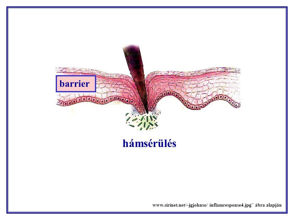 Az effektor T- és plazmasejtek a gyulladás színhelyére vándorolnak.