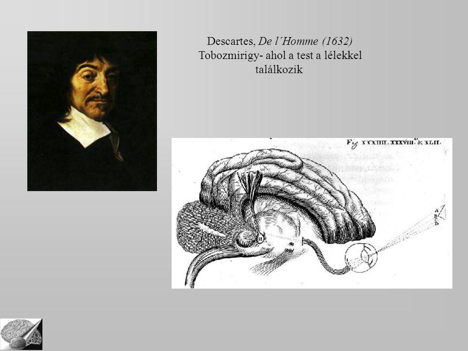 Descartes, De l´Homme (1632) Tobozmirigy- ahol a test a lélekkel találkozik