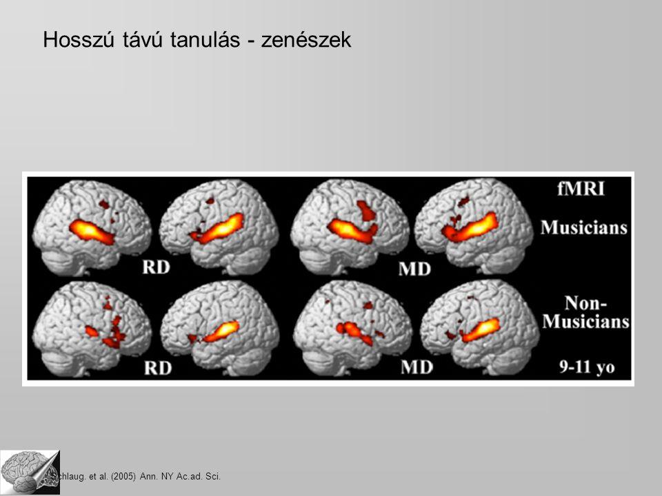 Hosszú távú tanulás - zenészek Schlaug. et al. (2005) Ann. NY Ac.ad. Sci.