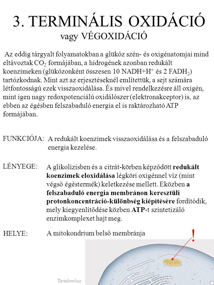 3. TERMINÁLIS OXIDÁCIÓ vagy VÉGOXIDÁCIÓ LÉNYEGE: A glikolízisben és a citrát-körben képződött redukált koenzimek eloxidálása légköri oxigénnel víz (mi