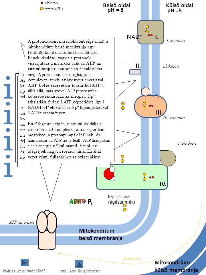 Külső oldal NAD + FADH 2 FAD Mitokondrium belső membránja Belső oldal I. komplex I. II. III. pH = 8 pH =5 III. komplex ubikinon citokróm-c IV. ATP-áz