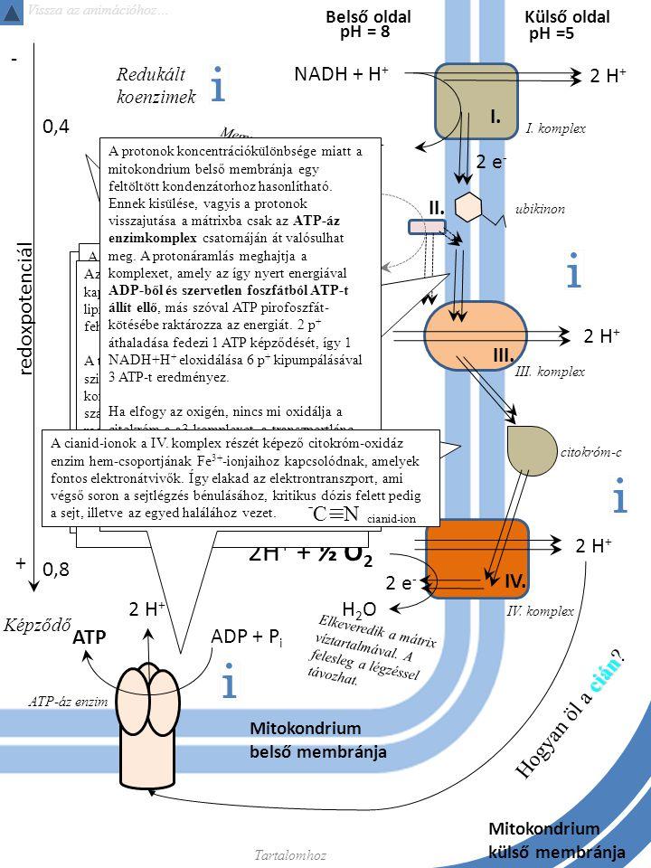 Külső oldal Képződő NADH + H + NAD + 2 H + 2 e - 2H + + ½ O 2 2 H + redoxpotenciál + - H2OH2O FADH 2 FAD 0,4 0,8 2 H + ADP + P i ATP Mitokondrium belső membránja Belső oldal I.