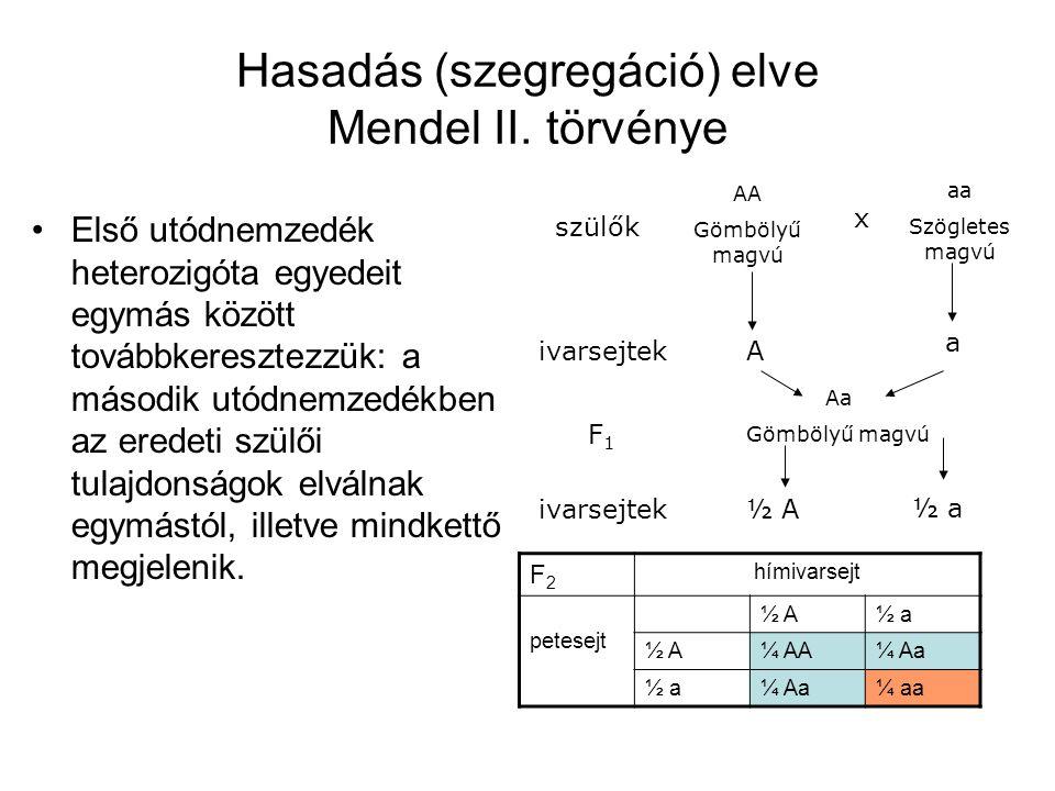 Hasadás (szegregáció) elve Mendel II. törvénye Első utódnemzedék heterozigóta egyedeit egymás között továbbkeresztezzük: a második utódnemzedékben az