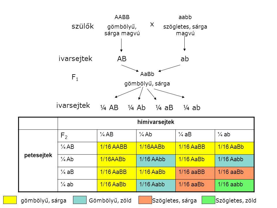 szülők AABB gömbölyű, sárga magvú x ABab ivarsejtek aabb szögletes, sárga magvú AaBb gömbölyű, sárga F1F1 ivarsejtek ¼ AB¼ Ab¼ aB¼ ab hímivarsejtek pe