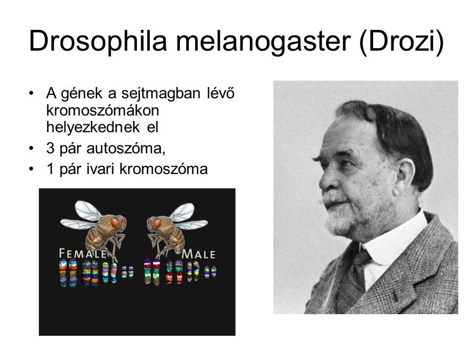Drosophila melanogaster (Drozi) A gének a sejtmagban lévő kromoszómákon helyezkednek el 3 pár autoszóma, 1 pár ivari kromoszóma