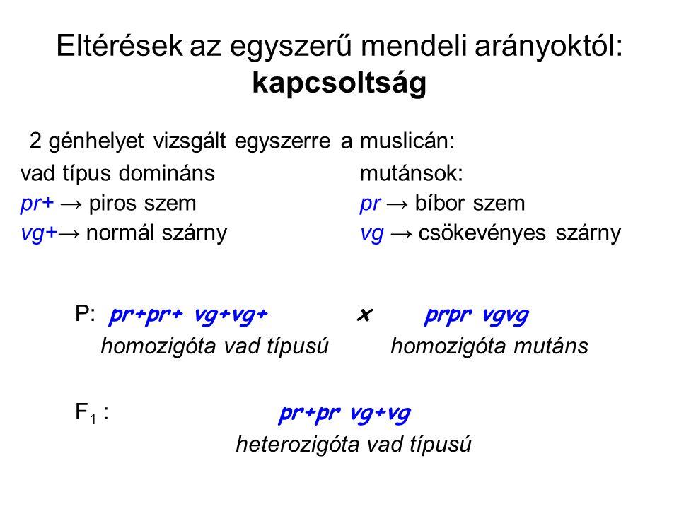Eltérések az egyszerű mendeli arányoktól: kapcsoltság 2 génhelyet vizsgált egyszerre a muslicán: vad típus dominánsmutánsok: pr+ → piros szem pr → bíb