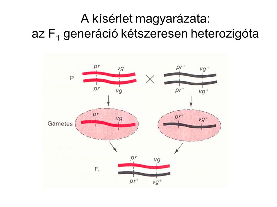 A kísérlet magyarázata: az F 1 generáció kétszeresen heterozigóta