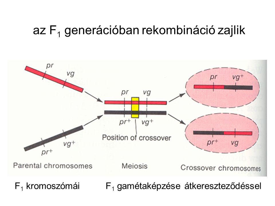 az F 1 generációban rekombináció zajlik F 1 kromoszómáiF 1 gamétaképzése átkereszteződéssel