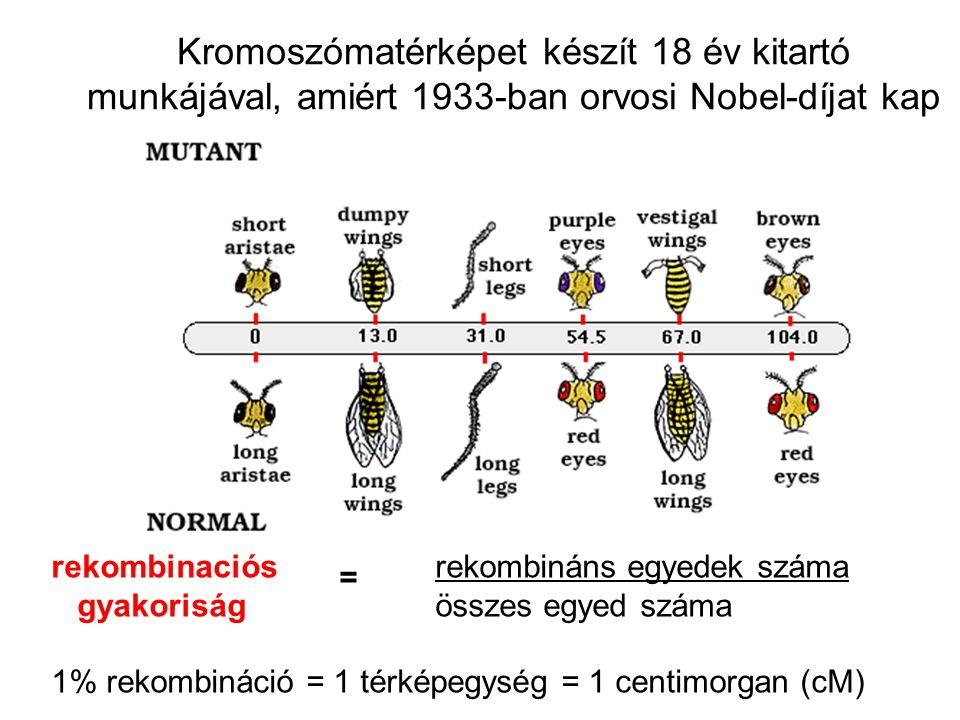 Kromoszómatérképet készít 18 év kitartó munkájával, amiért 1933-ban orvosi Nobel-díjat kap rekombinaciós = rekombináns egyedek száma gyakoriság összes