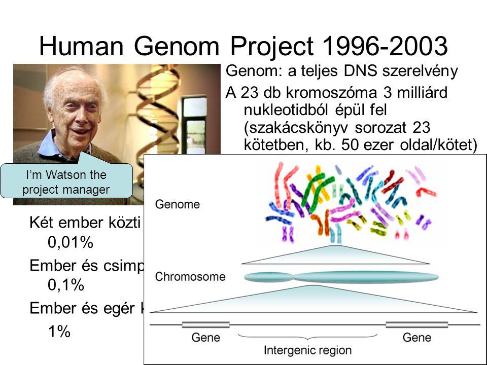 Human Genom Project 1996-2003 Két ember közti eltérés 0,01% Ember és csimpánz között 0,1% Ember és egér között 1% Genom: a teljes DNS szerelvény A 23
