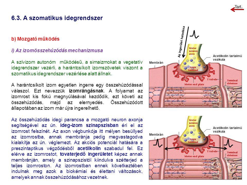 b) Mozgató működés i) Az izomösszehúzódás mechanizmusa A szívizom autonóm működésű, a simaizmokat a vegetatív idegrendszer vezérli, a harántcsíkolt iz