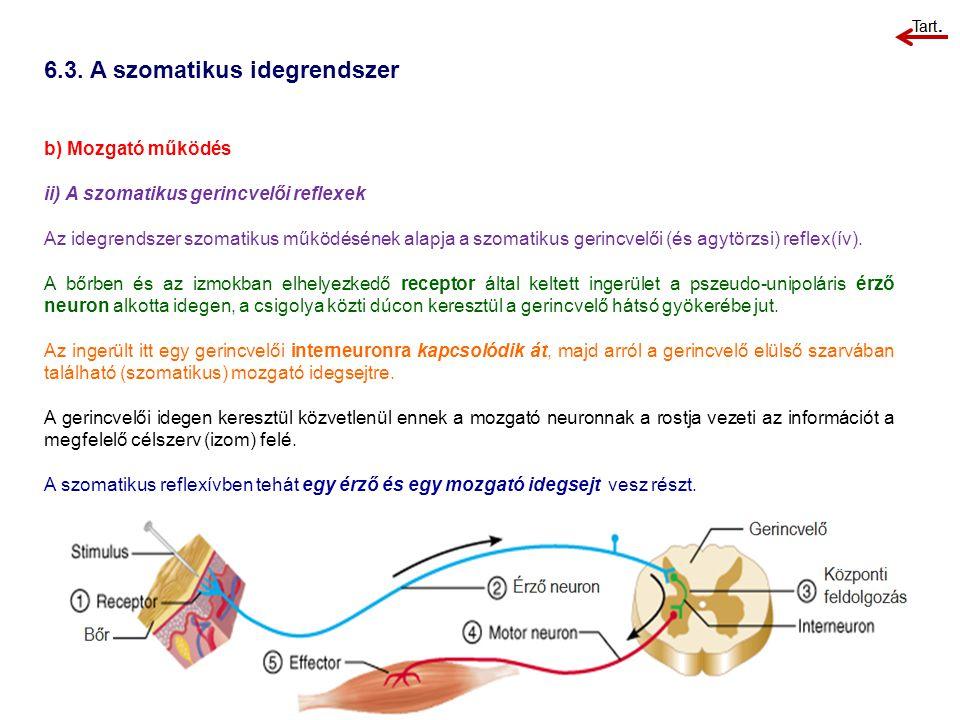 b) Mozgató működés ii) A szomatikus gerincvelői reflexek Az idegrendszer szomatikus működésének alapja a szomatikus gerincvelői (és agytörzsi) reflex(