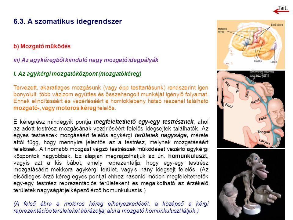 6.3. A szomatikus idegrendszer b) Mozgató működés iii) Az agykéregből kiinduló nagy mozgató idegpályák I. Az agykérgi mozgatóközpont (mozgatókéreg) Te