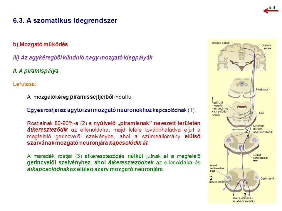 6.3. A szomatikus idegrendszer b) Mozgató működés iii) Az agykéregből kiinduló nagy mozgató idegpályák II. A piramispálya Lefutása: A mozgatókéreg pir