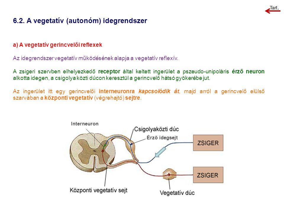 6.2. A vegetatív (autonóm) idegrendszer Érző idegsejt a) A vegetatív gerincvelői reflexek Az idegrendszer vegetatív működésének alapja a vegetatív ref