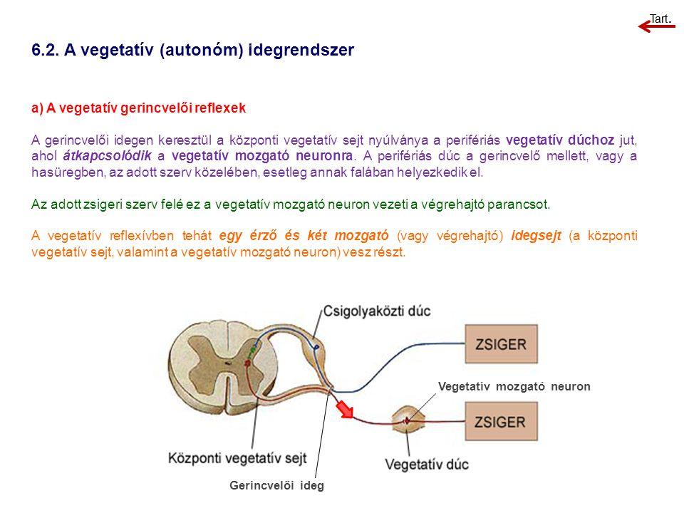 6.2. A vegetatív (autonóm) idegrendszer a) A vegetatív gerincvelői reflexek A gerincvelői idegen keresztül a központi vegetatív sejt nyúlványa a perif