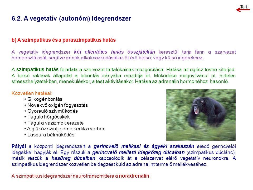 6.2. A vegetatív (autonóm) idegrendszer b) A szimpatikus és a paraszimpatikus hatás A vegetatív idegrendszer két ellentétes hatás összjátékán keresztü
