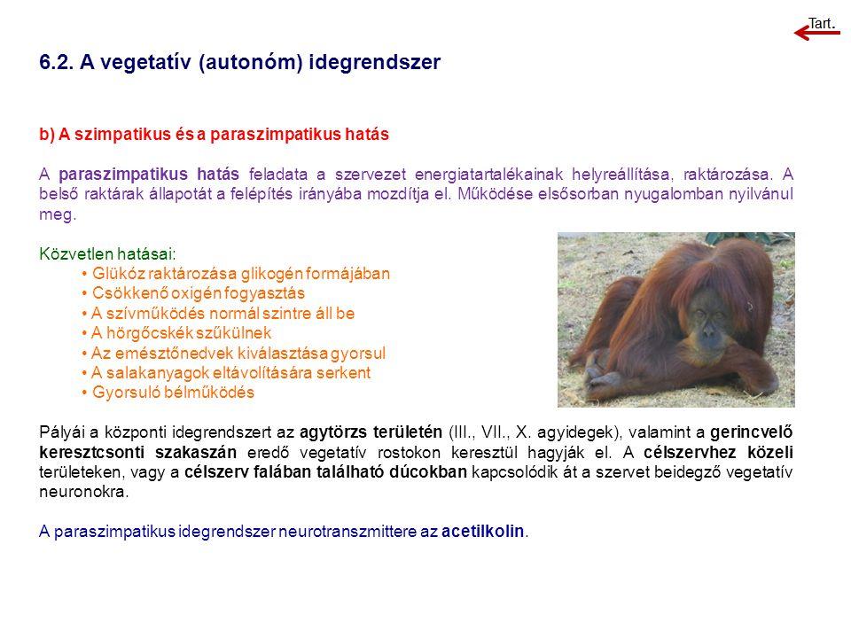 6.2. A vegetatív (autonóm) idegrendszer b) A szimpatikus és a paraszimpatikus hatás A paraszimpatikus hatás feladata a szervezet energiatartalékainak